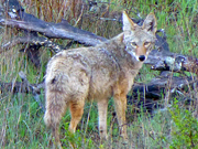 Coyote in Miwok Meadows - China Camp SP